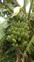 nieśmiało dojrzewający kiść bananów.