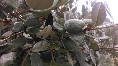 Owoce Fejioa