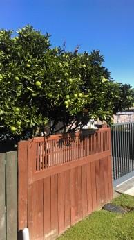 Drzewo Fejio w jednym z przydomowych ogródków