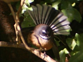 pied_fantail_01