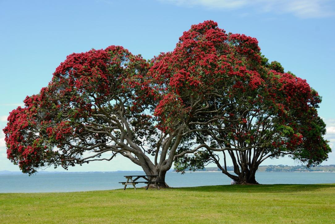 Drzewo Pohutukawa