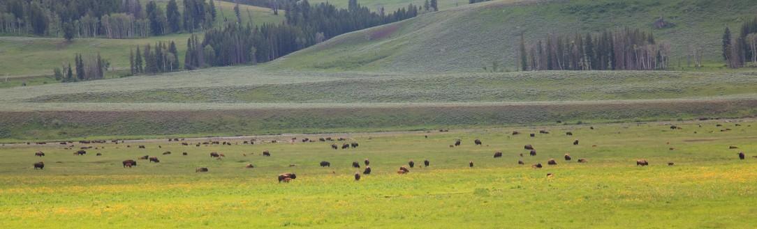 Stodo Bizonów Yellowstone